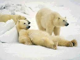 polar bears know how to slack